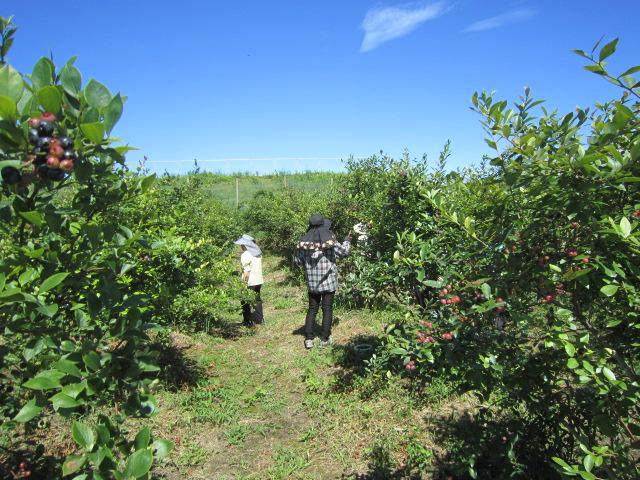 ブルーベリー収穫体験の様子